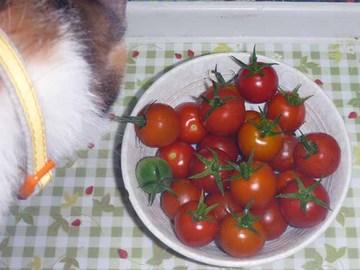 ミニトマト2012_3.jpg