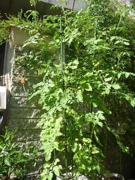 ミニトマト2012_1.jpg